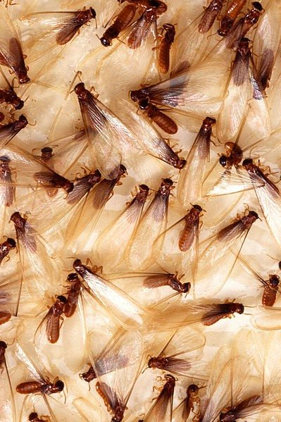 importance of a termite inspection
